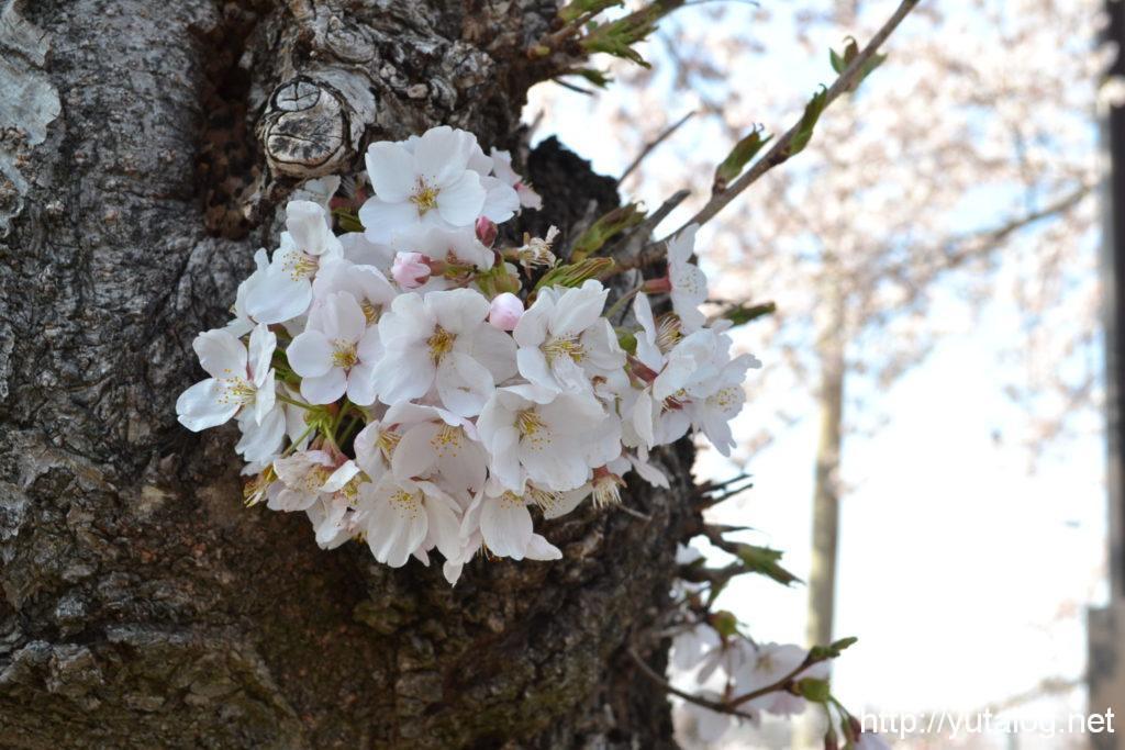 木の幹からも桜が