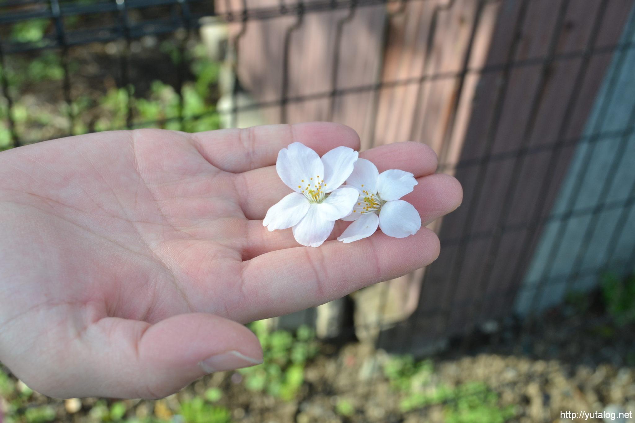 地面におちていた桜